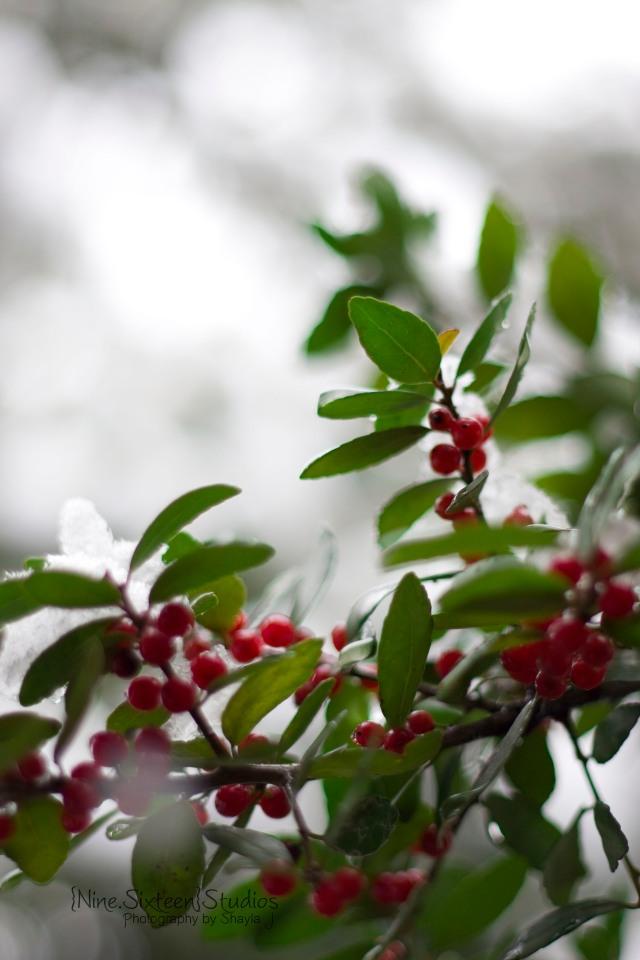 Winter Snow Storm Dallas 2010+Berries