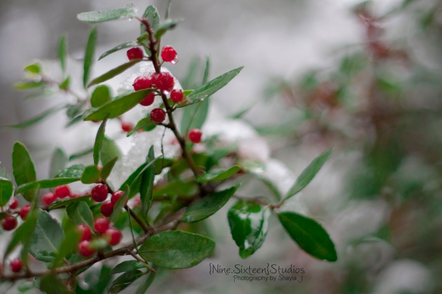 Dallas 2010 Winter Snow Storm+Berries